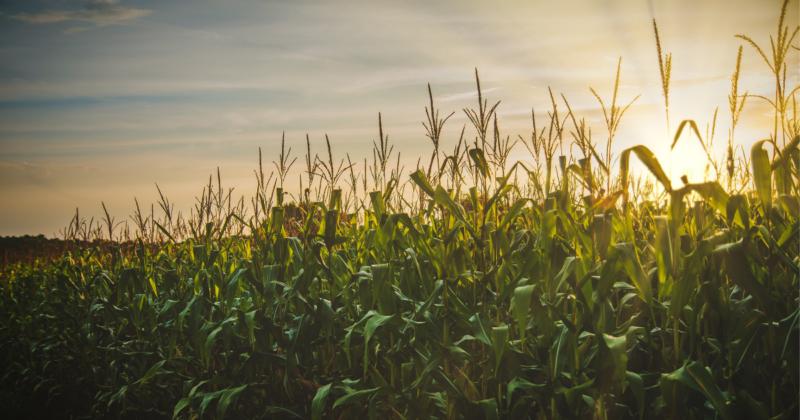 Можливості заготівлі побічної продукції кукурудзи на зерно для енергетичного використання в Україні